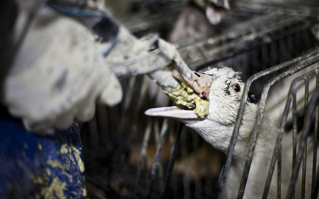 Foie gras - đỉnh cao văn hóa ẩm thực Pháp: Khi lằn ranh giữa món ăn xa hoa và nỗi thống khổ tột cùng của loài ngỗng bị xóa mờ - Ảnh 10.