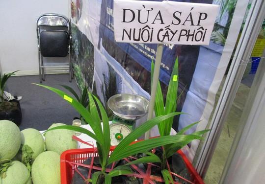 Dừa sáp 250.000 đồng/quả, nông dân rủ nhau mua dừa giống về trồng - Ảnh 3.