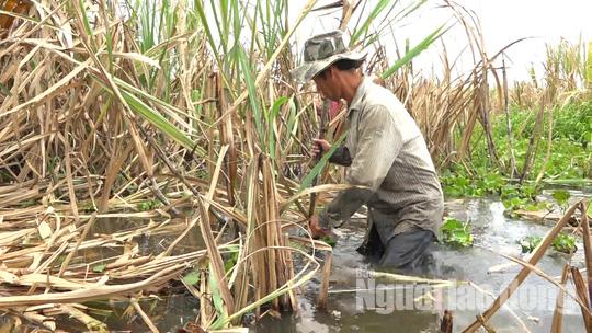 Ứa nước mắt với hình ảnh nông dân trồng mía trắng tay vì lũ - Ảnh 4.