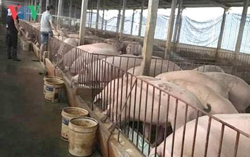 Giá thịt lợn có thể tiếp tục tăng nếu dịch tả lợn Châu Phi bùng phát - Ảnh 1.