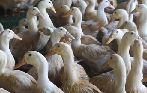 Nhiều nông dân trắng tay vì mua phải vịt giống kém chất lượng - Ảnh 1.