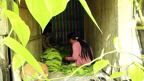 Lá trầu xuất khẩu sang Trung Quốc được giá, người trồng lãi cao - Ảnh 3.