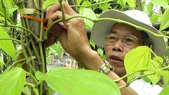 Lá trầu xuất khẩu sang Trung Quốc được giá, người trồng lãi cao - Ảnh 4.