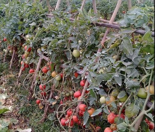 Mỗi sào cà chua cho thu nhập cả triệu đồng - Ảnh 1.