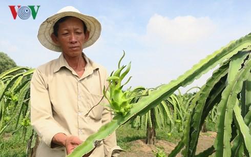 Ông Lê Minh, nông dân xã Hàm Chính, huyện Hàm Thuận Bắc cho biết lứa trái xanh này sau 1 tháng nữa sẽ chín tới kịp bán trong dịp Tết