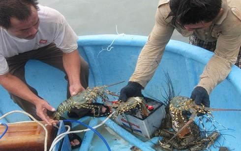 Nuôi tôm hùm ở Phú Yên có tiềm năng lớn, giá trị hàng ngàn tỷ đồng - Ảnh 1.
