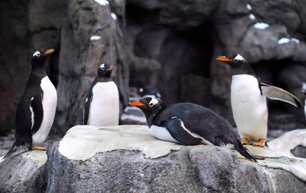 Chim cánh cụt ở vườn thú Calgary cũng phải di tản vì quá lạnh.