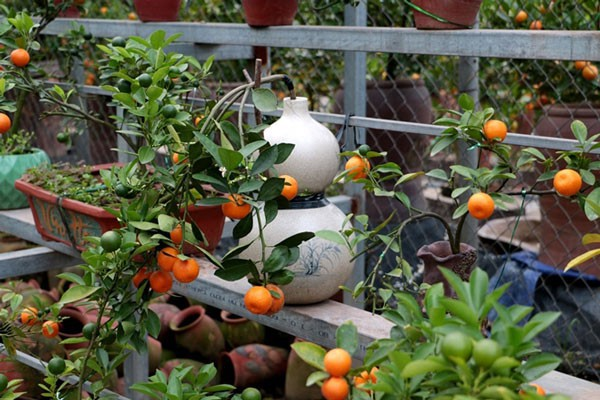 Quất trồng trong chai thủy tinh chờ Tết nguyên đán - Ảnh 8.