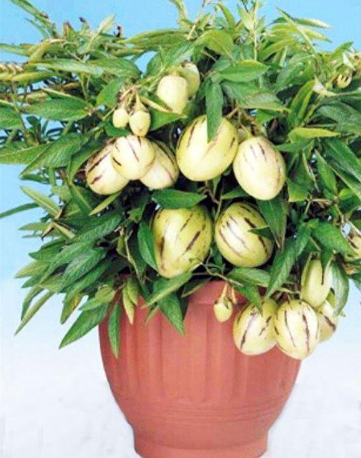 Người dân Đà Lạt đổ xô đặt mua hoa, quả độc lạ chơi Tết - Ảnh 1.