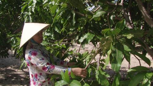 Nông dân Bình Thuận thất thu vụ xoài Tết - Ảnh 1.