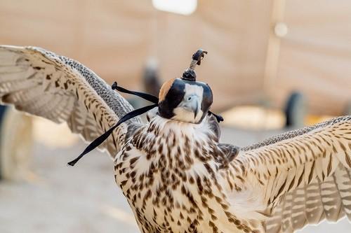 Huấn luyện chim ưng: Nghề kiếm ra hàng triệu USD ở Trung Đông - Ảnh 3.