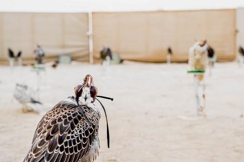 Huấn luyện chim ưng: Nghề kiếm ra hàng triệu USD ở Trung Đông - Ảnh 7.