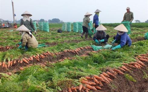 Những ngày cận Tết, giá cà rốt giảm 50% vẫn khó bán - Ảnh 1.