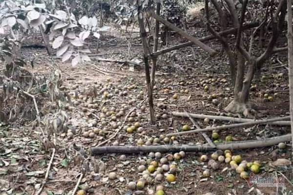 Hàng chục tấn cam đặc sản rụng tả tơi giữa vụ thu hoạch - Ảnh 1.