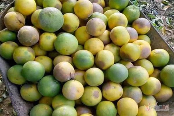 Hàng chục tấn cam đặc sản rụng tả tơi giữa vụ thu hoạch - Ảnh 3.