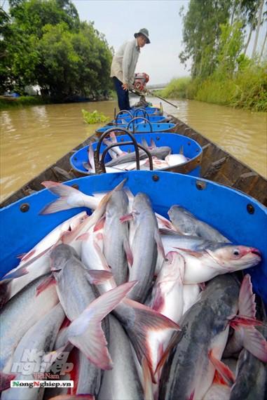 Hình ảnh từ vựa cá tra chế biến xuất khẩu sang Trung Quốc - Ảnh 13.