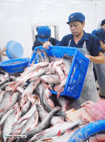 Hình ảnh từ vựa cá tra chế biến xuất khẩu sang Trung Quốc - Ảnh 14.