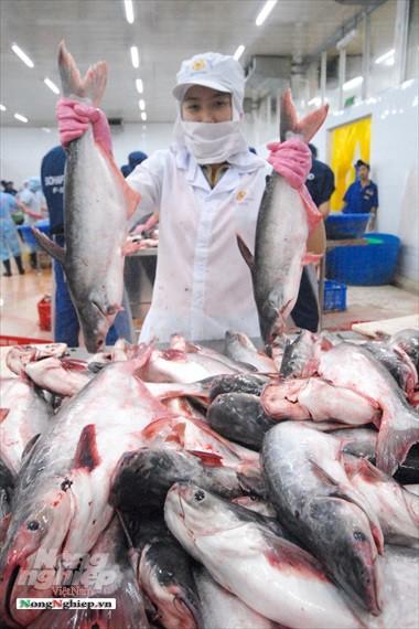 Hình ảnh từ vựa cá tra chế biến xuất khẩu sang Trung Quốc - Ảnh 15.