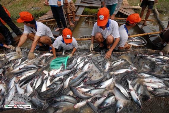Hình ảnh từ vựa cá tra chế biến xuất khẩu sang Trung Quốc - Ảnh 7.