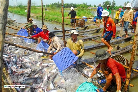 Hình ảnh từ vựa cá tra chế biến xuất khẩu sang Trung Quốc - Ảnh 10.