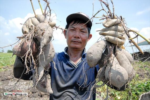 Vựa khoai lang lớn nhất miền Tây xuất khẩu sang Trung Quốc - ảnh 13