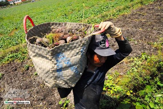 Vựa khoai lang lớn nhất miền Tây xuất khẩu sang Trung Quốc - ảnh 14