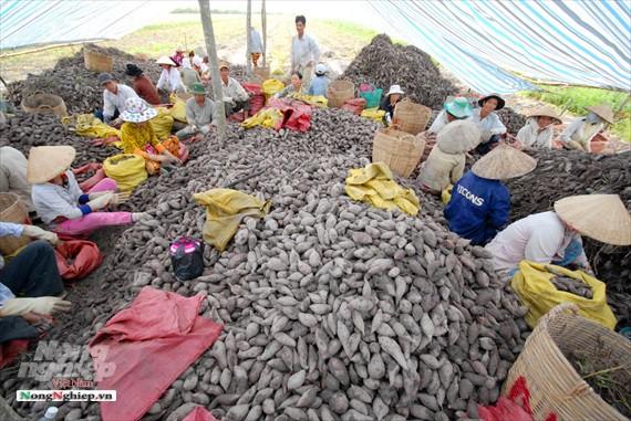 Vựa khoai lang lớn nhất miền Tây xuất khẩu sang Trung Quốc - ảnh 15