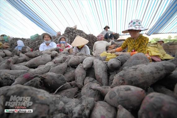 Vựa khoai lang lớn nhất miền Tây xuất khẩu sang Trung Quốc - ảnh 16