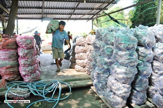 Vựa khoai lang lớn nhất miền Tây xuất khẩu sang Trung Quốc - ảnh 18
