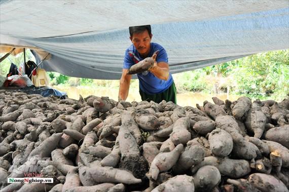 Vựa khoai lang lớn nhất miền Tây xuất khẩu sang Trung Quốc - ảnh 19