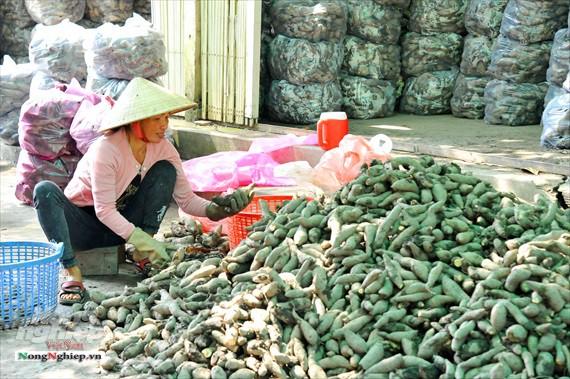 Vựa khoai lang lớn nhất miền Tây xuất khẩu sang Trung Quốc - ảnh 20