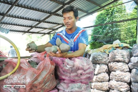 Vựa khoai lang lớn nhất miền Tây xuất khẩu sang Trung Quốc - ảnh 22