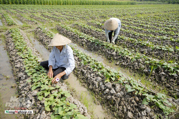 Vựa khoai lang lớn nhất miền Tây xuất khẩu sang Trung Quốc - ảnh 6