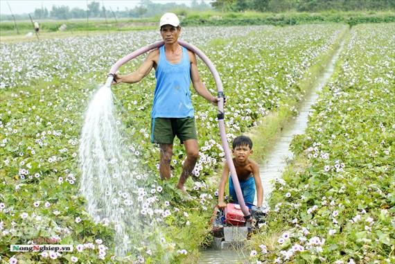 Vựa khoai lang lớn nhất miền Tây xuất khẩu sang Trung Quốc - ảnh 7