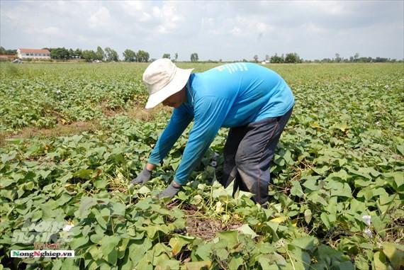 Vựa khoai lang lớn nhất miền Tây xuất khẩu sang Trung Quốc - ảnh 8