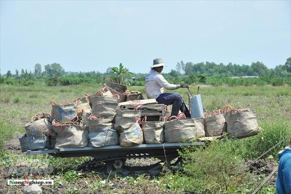 Vựa khoai lang lớn nhất miền Tây xuất khẩu sang Trung Quốc - ảnh 10