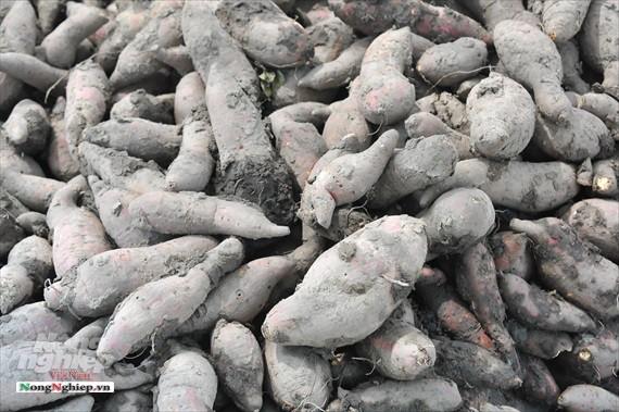 Vựa khoai lang lớn nhất miền Tây xuất khẩu sang Trung Quốc - ảnh 11