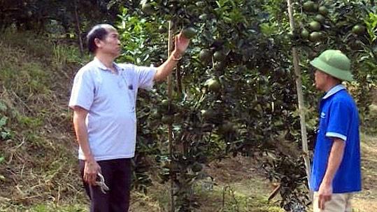 Hà Giang không còn hiện tượng thu mua cam non - Ảnh 1.