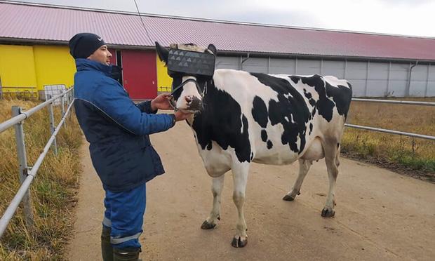 Chuyện lạ ở Nga: Cho bò đeo tai nghe và ngắm cảnh qua kính VR để cải thiện tâm trạng, thu được nhiều sữa hơn - Ảnh 2.