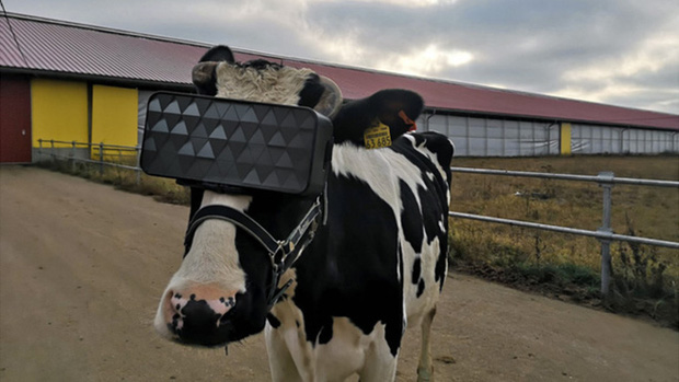 Chuyện lạ ở Nga: Cho bò đeo tai nghe và ngắm cảnh qua kính VR để cải thiện tâm trạng, thu được nhiều sữa hơn - Ảnh 1.