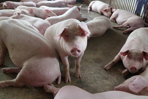 Dịch tả lợn Châu Phi: Xem xét xóa nợ cho cơ sở chăn nuôi - Ảnh 1.