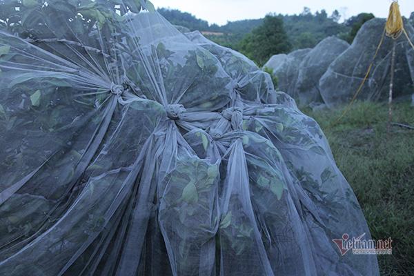 Đồi cam 6 tỷ kỳ lạ nhất Việt Nam, 2.000 cây mắc màn trắng cả rừng - Ảnh 4.
