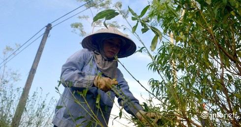Làng đào phai Kim Thành nức tiếng nín thở vì trời nắng ấm - Ảnh 2.