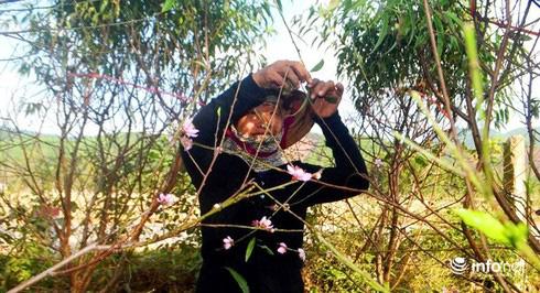 Làng đào phai Kim Thành nức tiếng nín thở vì trời nắng ấm - Ảnh 3.