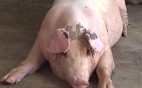 """Thịt lợn khan hiếm, giá tăng vọt, người dân xu hướng nuôi lợn """"siêu to"""""""