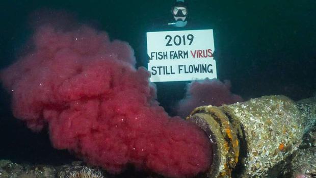 Suốt 2 năm qua người Canada không dám ăn đến một miếng cá hồi hoang dã, nguyên nhân chính là vì đường ống địa ngục ai cũng khiếp sợ - Ảnh 2.