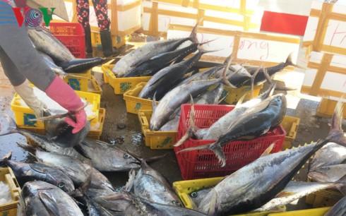 """Đánh cá """"xuyên Tết"""", ngư dân Quảng Ngãi trúng mẻ cá ngừ 50 tấn - Ảnh 1."""