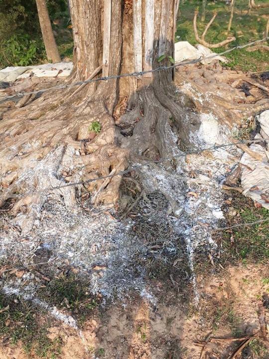 Rơi nước mắt thấy gốc cây vườn ươm bạc tỉ bị kẻ xấu đổ nước muối - Ảnh 2.