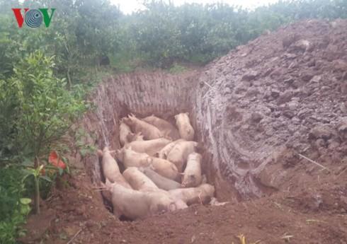 Người dân mang hàng trăm con lợn nhiễm dịch tả châu Phi đi tiêu hủy - Ảnh 1.