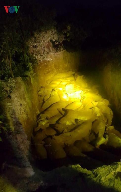 Người dân mang hàng trăm con lợn nhiễm dịch tả châu Phi đi tiêu hủy - Ảnh 2.